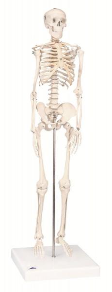 Modell Mini Skelett - ohne Muskelbemalung - auf Sockel