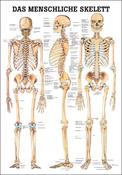 Lehrtafel - Skelett