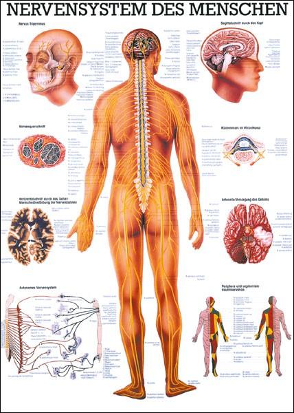 Lehrtafel - Nervensystem