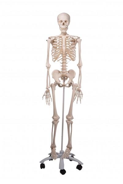 Modell Standard-Skelett auf 5-Fuß-Rollenstativ - 3B