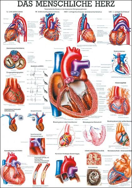 Lehrtafel - Herz