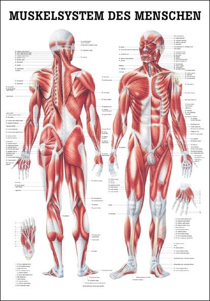 Lehrtafel - Muskelsystem
